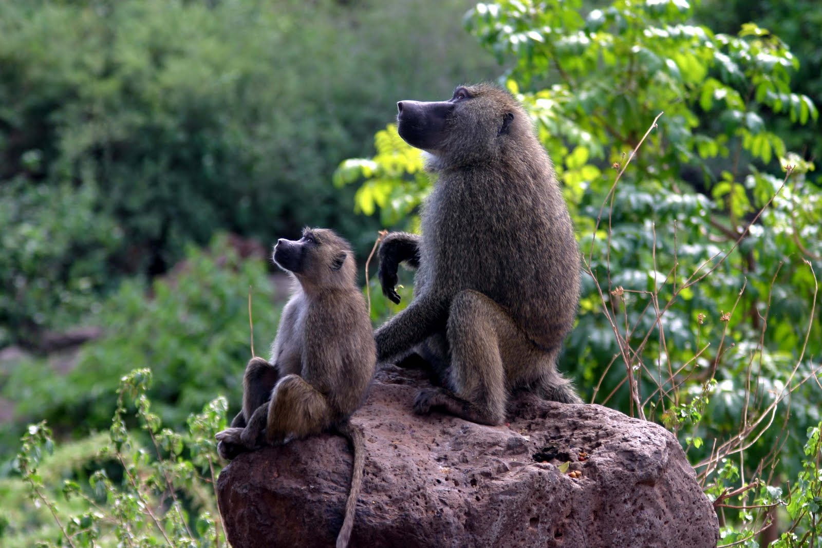 Baboons_on_rock1