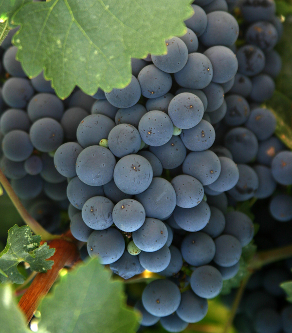 Paso-Robles-ZIN-grapes