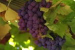 Great Grapes at Grape Expectations!