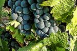 Zinfandel_grapes
