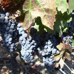Paso Robles Cab Collective Wine Trail. ish.