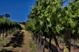 Hammersky vineyard