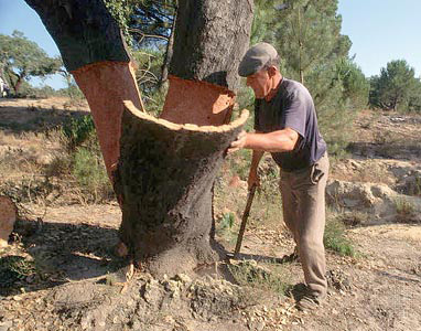Shearing the cork from the treet