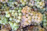 Pinot Blanc grapes.