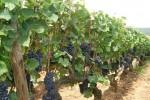 Pinot Noir grapes, Burgundy.