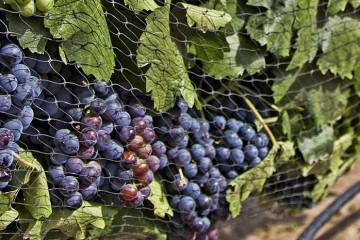 Churchill Vineyards Northern Nevada