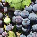 (Good) Nevada Wines from Nevada Grapes. Yeah. Really.